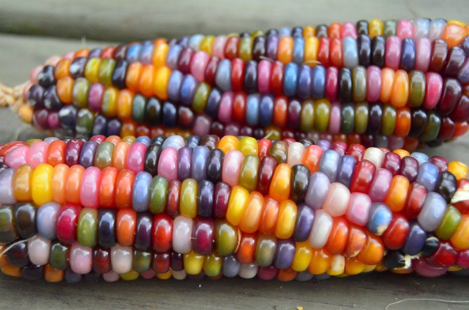 semi mais arcobaleno glass corn seeds